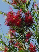 桃金娘科植物 红千层